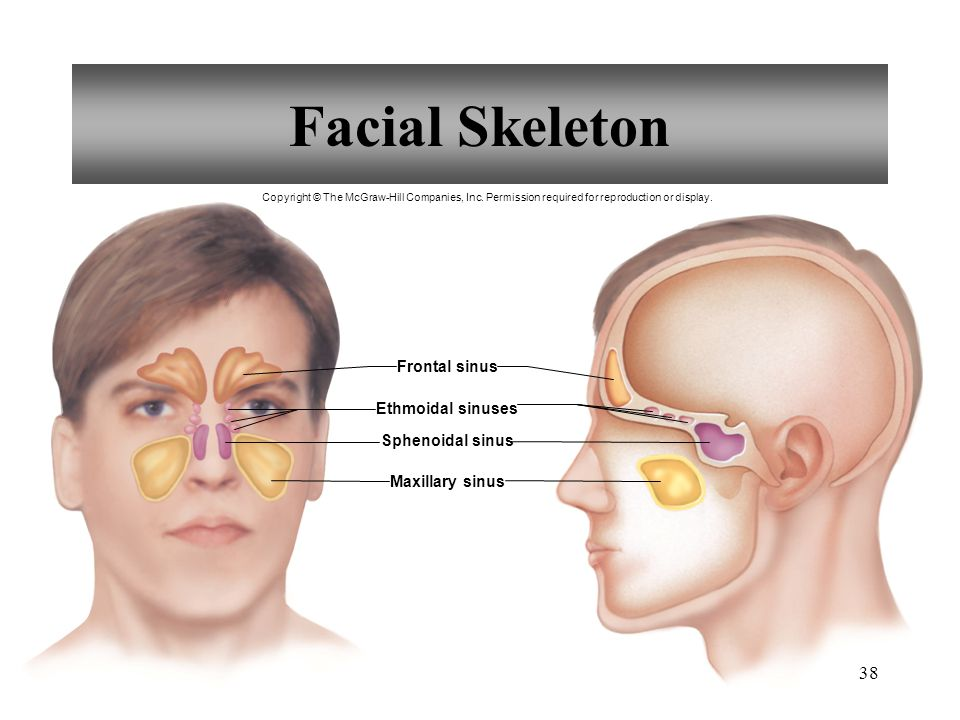38 Facial Skeleton Frontal sinus Ethmoidal sinuses Sphenoidal sinus Maxillary sinus Copyright © The McGraw-Hill Companies, Inc. Permission required fo
