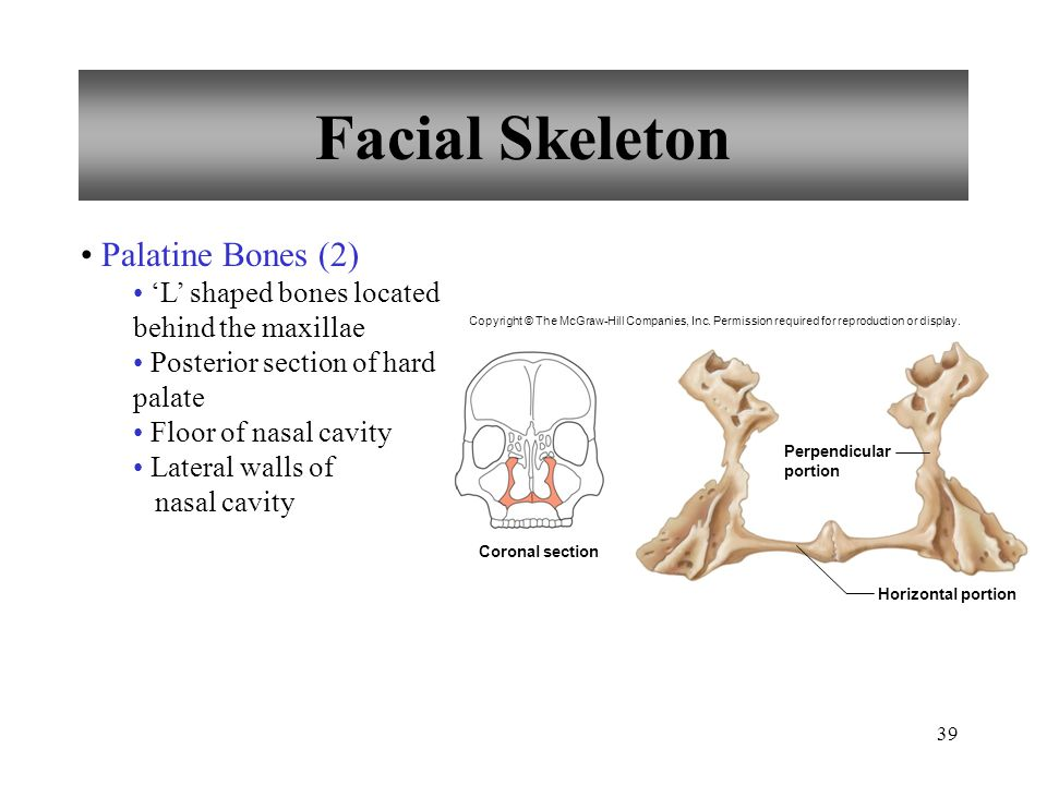 39 Facial Skeleton Palatine Bones (2) 'L' shaped bones located behind the maxillae Posterior section of hard palate Floor of nasal cavity Lateral wall