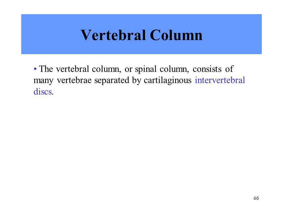 46 Vertebral Column The vertebral column, or spinal column, consists of many vertebrae separated by cartilaginous intervertebral discs.