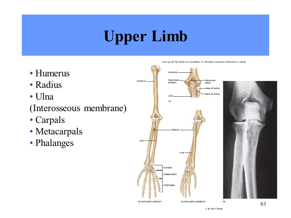 63 Upper Limb Humerus Radius Ulna (Interosseous membrane) Carpals Metacarpals Phalanges Olecranon process Head of radius Neck of radius Ulna Olecranon