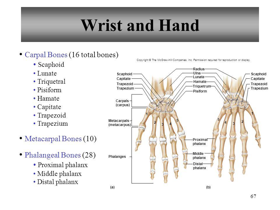 67 Wrist and Hand Carpal Bones (16 total bones) Scaphoid Lunate Triquetral Pisiform Hamate Capitate Trapezoid Trapezium Metacarpal Bones (10) Phalangeal Bones (28) Proximal phalanx Middle phalanx Distal phalanx Trapezium Trapezoid Capitate Scaphoid Trapezium (a)(b) Trapezoid Capitate Scaphoid Ulna Radius Lunate Hamate Triquetrum Pisiform Phalanges 5 5 4 4 3 3 2 2 1 1 Distal phalanx Middle phalanx Proximal phalanx Metacarpals (metacarpus) Carpals (carpus) Copyright © The McGraw-Hill Companies, Inc.