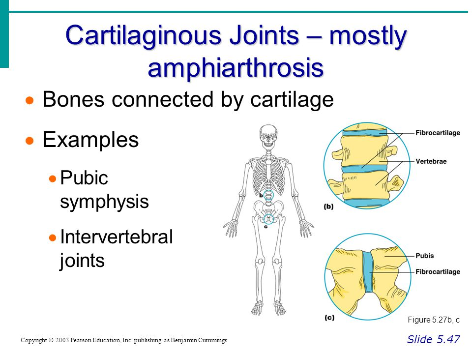 Cartilaginous Joints – mostly amphiarthrosis Slide 5.47 Copyright © 2003 Pearson Education, Inc. publishing as Benjamin Cummings  Bones connected by