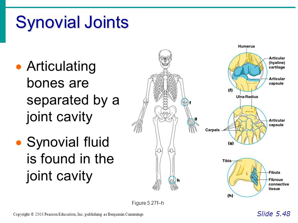 Synovial Joints Slide 5.48 Copyright © 2003 Pearson Education, Inc. publishing as Benjamin Cummings  Articulating bones are separated by a joint cavi