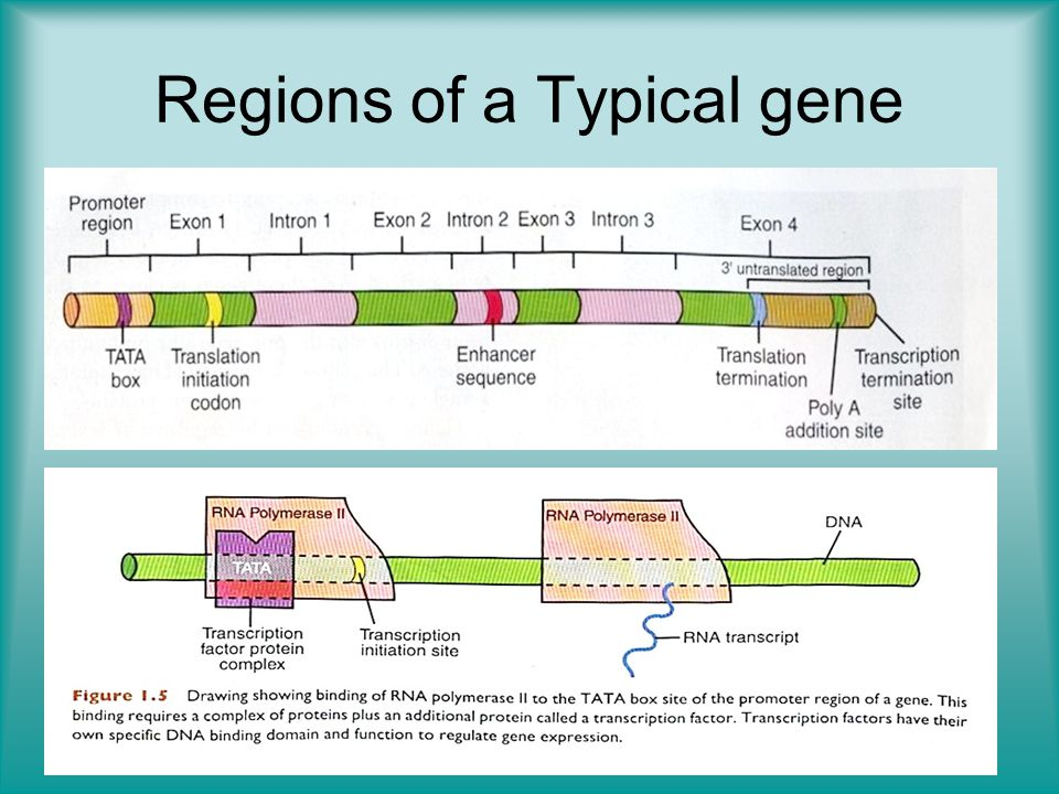 Regions of a Typical gene