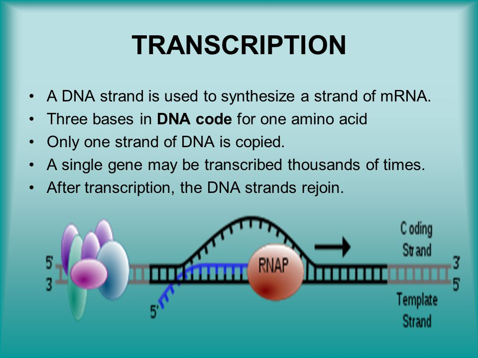 TRANSCRIPTION A DNA strand is used to synthesize a strand of mRNA. Three bases in DNA code for one amino acid Only one strand of DNA is copied. A sing
