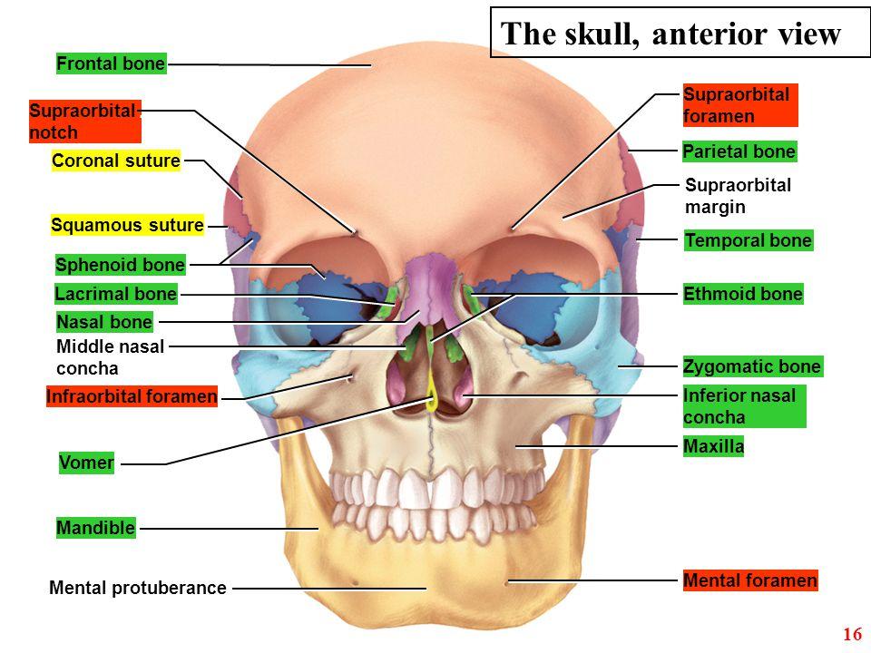 Frontal bone Coronal suture Lacrimal bone Squamous suture Infraorbital foramen Vomer Mandible Sphenoid bone Ethmoid bone Nasal bone Zygomatic bone Max