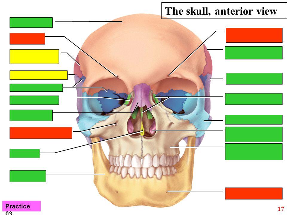 17 The skull, anterior view Practice 03
