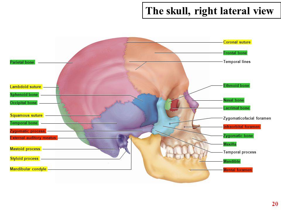 Parietal bone Frontal bone Lambdoid suture Sphenoid bone Temporal bone Zygomatic process External auditory meatus Mandible Temporal lines Coronal sutu