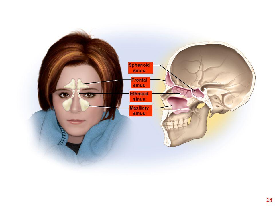 Sphenoid sinus Frontal sinus Ethmoid sinus Maxillary sinus 28