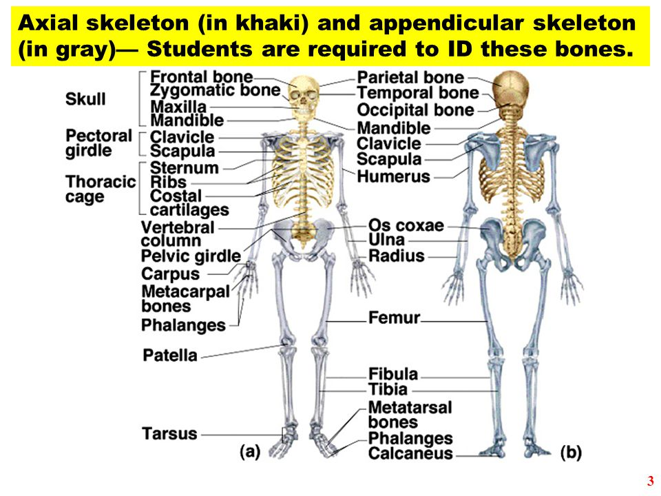 Axial skeleton (in khaki) and appendicular skeleton (in gray)— Students are required to ID these bones. 3