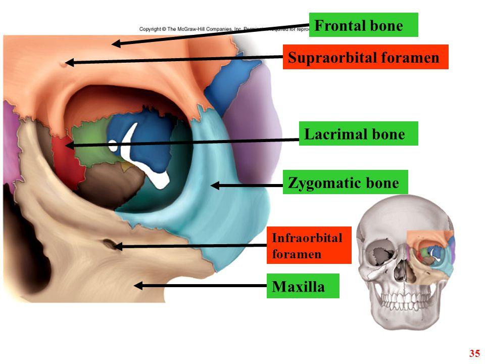Lacrimal bone Zygomatic bone Supraorbital foramen Infraorbital foramen Maxilla Frontal bone 35