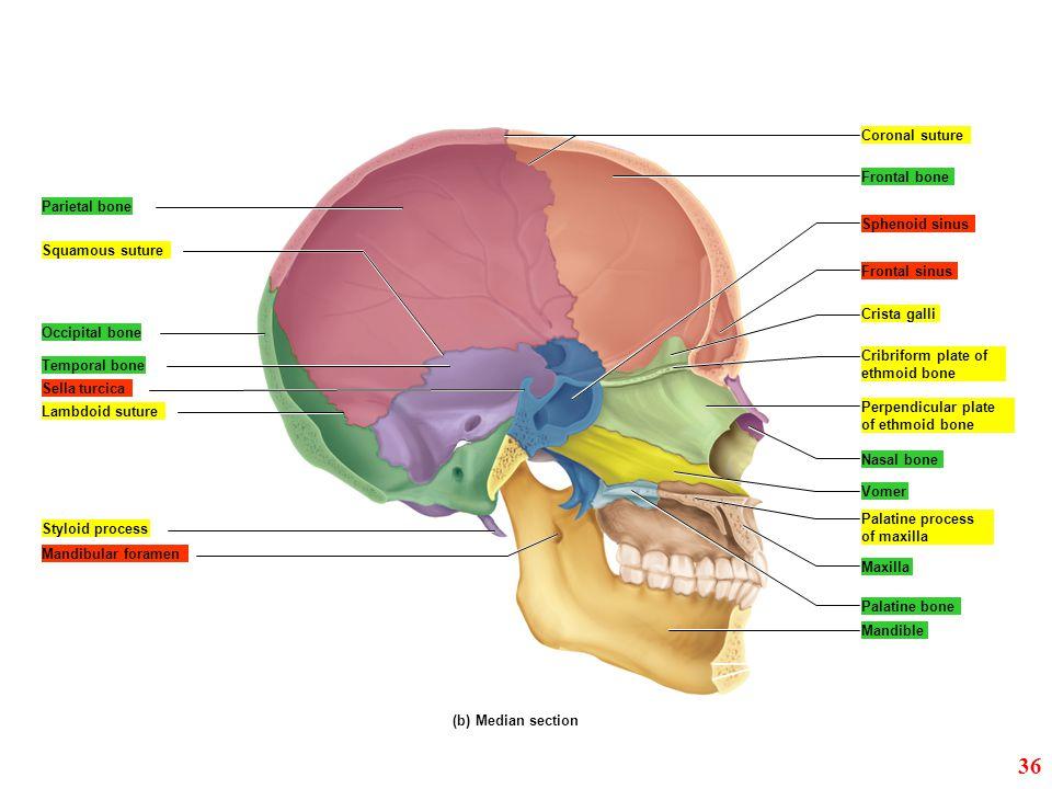 Coronal suture Frontal bone Sphenoid sinus Frontal sinus Crista galli Parietal bone Temporal bone Mandibular foramen Styloid process Squamous suture L