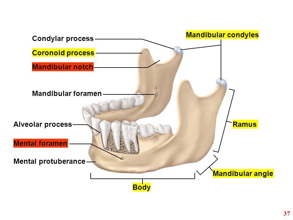 Mandibular condyles Condylar process Mandibular notch Coronoid process Mandibular foramen Body Mandibular angle Ramus Mental protuberance Mental foram