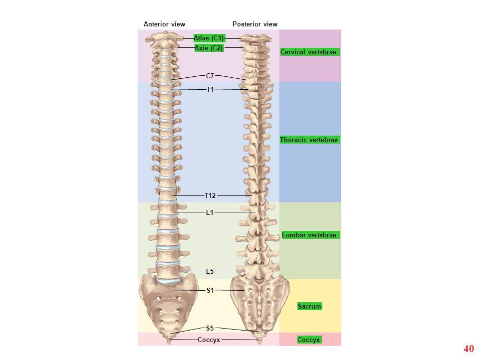Cervical vertebrae Thoracic vertebrae Atlas (C1) Axis (C2) C7 Lumbar vertebrae Sacrum Coccyx Anterior viewPosterior view T1 T12 L1 L5 S1 S5 40