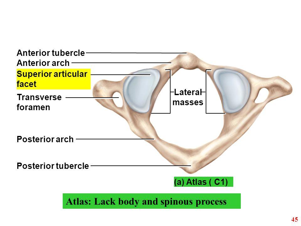 Anterior tubercle Anterior arch Posterior arch Posterior tubercle Superior articular facet Transverse foramen Lateral masses (a) Atlas ( C1) 45 Atlas: