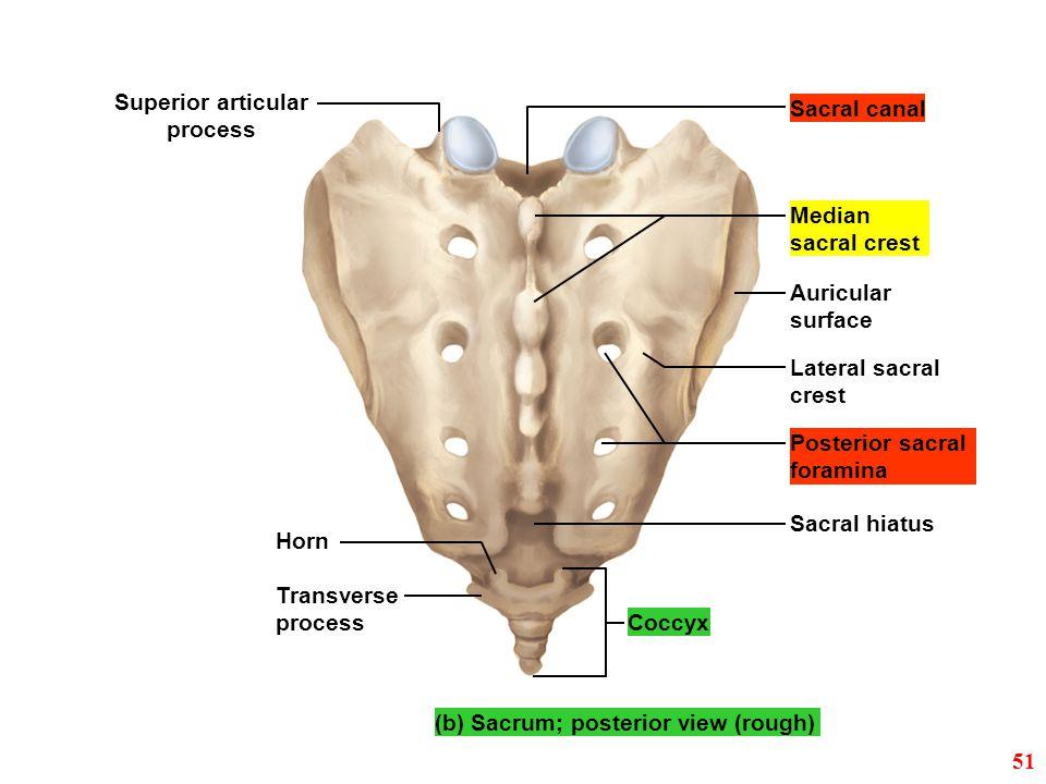 Horn Sacral hiatus Coccyx Sacral canal (b) Sacrum; posterior view (rough) Superior articular process Transverse process Posterior sacral foramina Late