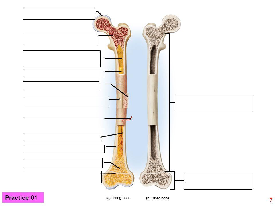 (a) Living bone (b) Dried bone 7 Practice 01