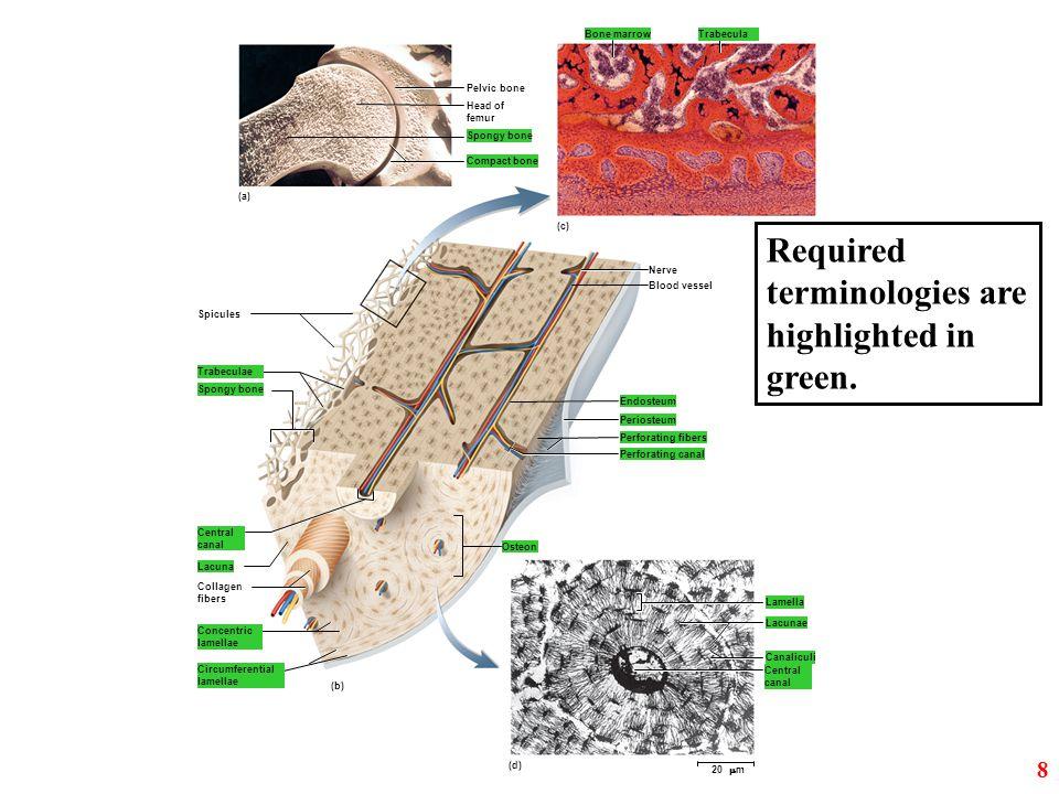 Periosteum Endosteum Perforating fibers Perforating canal Osteon Lacuna Spongy bone Compact bone Pelvic bone Nerve Blood vessel Bone marrow Lamella La