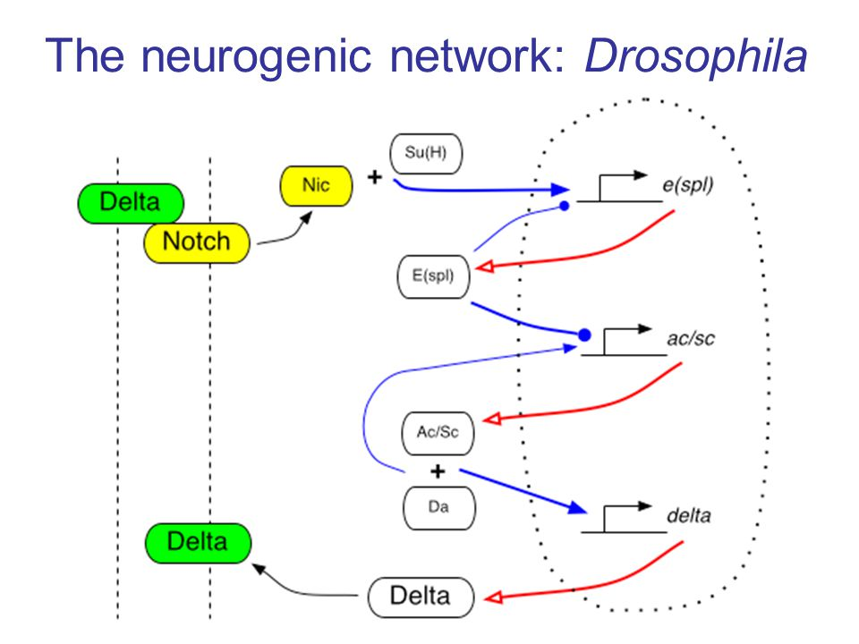 The neurogenic network: Drosophila