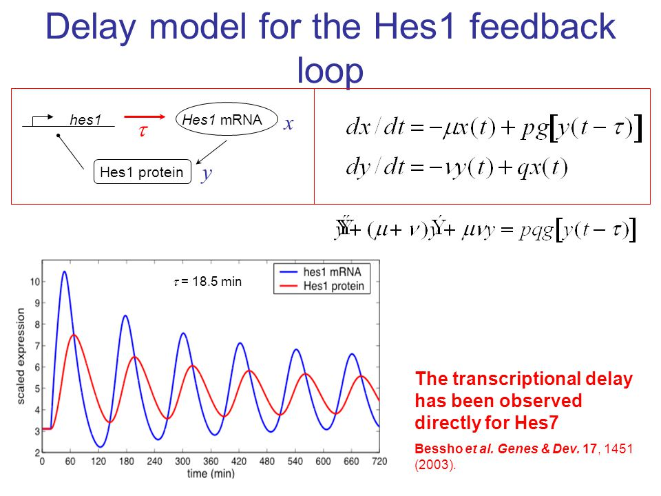 Delay model for the Hes1 feedback loop x hes1Hes1 mRNA Hes1 protein y   = 18.5 min The transcriptional delay has been observed directly for Hes7 Bes