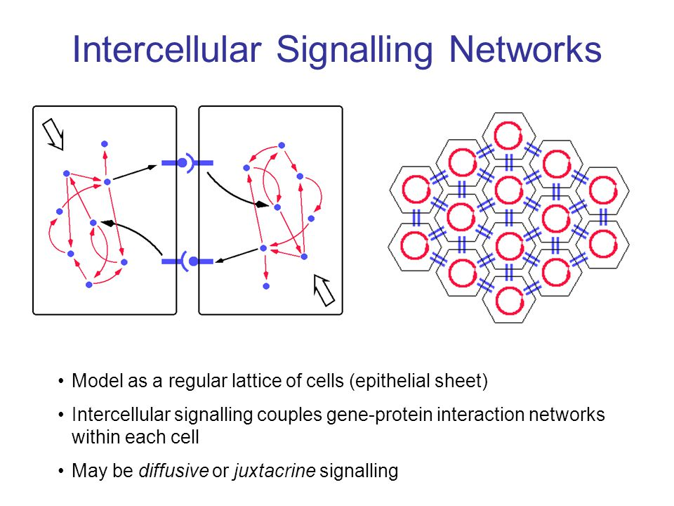 Intercellular Signalling Networks Model as a regular lattice of cells (epithelial sheet) Intercellular signalling couples gene-protein interaction net