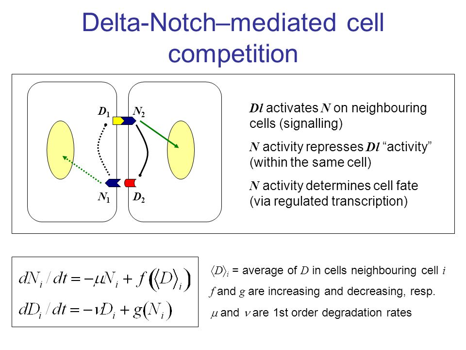 Delta-Notch–mediated cell competition D2D2 N1N1 D1D1 N2N2 Dl activates N on neighbouring cells (signalling) N activity represses Dl activity (within the same cell) N activity determines cell fate (via regulated transcription)  D  i = average of D in cells neighbouring cell i f and g are increasing and decreasing, resp.