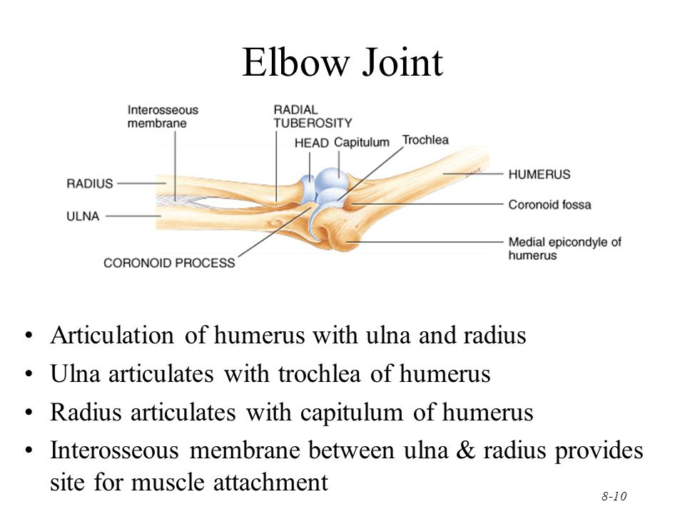 8-10 Elbow Joint Articulation of humerus with ulna and radius Ulna articulates with trochlea of humerus Radius articulates with capitulum of humerus I