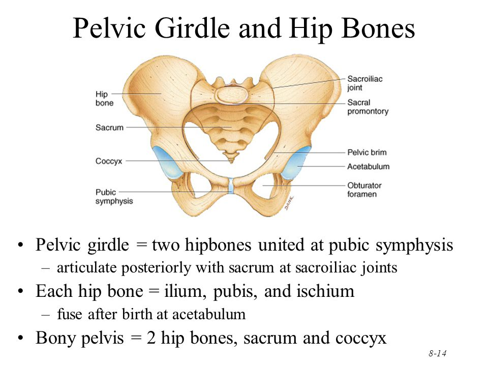 8-14 Pelvic Girdle and Hip Bones Pelvic girdle = two hipbones united at pubic symphysis –articulate posteriorly with sacrum at sacroiliac joints Each