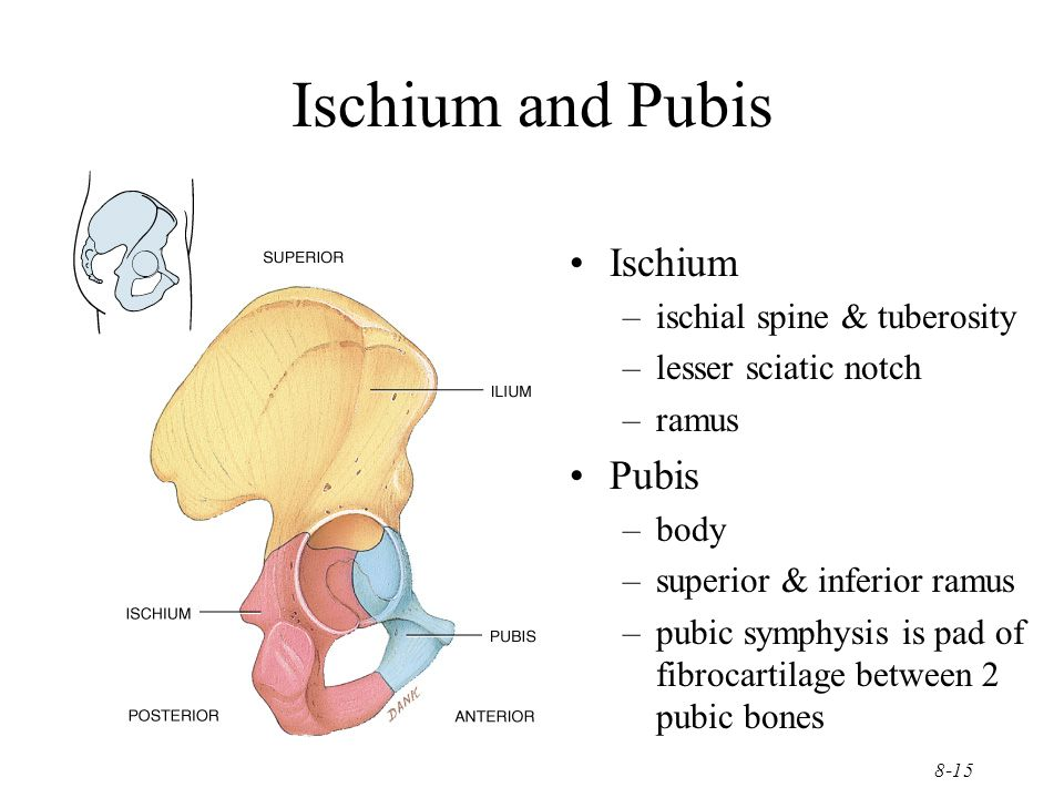 8-15 Ischium and Pubis Ischium –ischial spine & tuberosity –lesser sciatic notch –ramus Pubis –body –superior & inferior ramus –pubic symphysis is pad
