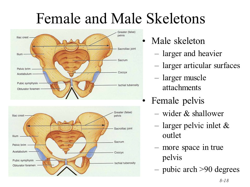 8-18 Female and Male Skeletons Male skeleton –larger and heavier –larger articular surfaces –larger muscle attachments Female pelvis –wider & shallowe