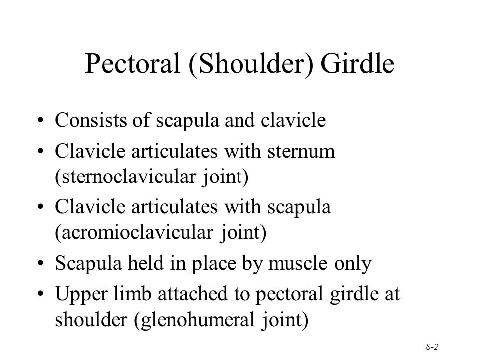 8-2 Pectoral (Shoulder) Girdle Consists of scapula and clavicle Clavicle articulates with sternum (sternoclavicular joint) Clavicle articulates with s