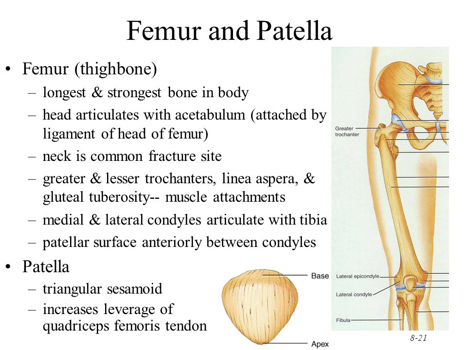 8-21 Femur and Patella Femur (thighbone) –longest & strongest bone in body –head articulates with acetabulum (attached by ligament of head of femur) –