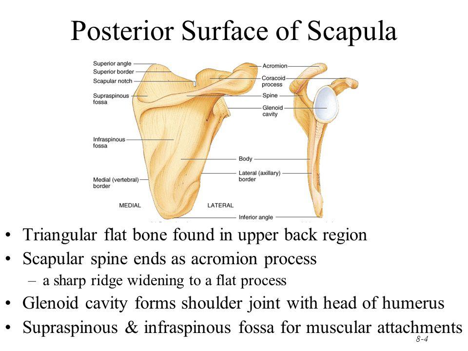 8-15 Ischium and Pubis Ischium –ischial spine & tuberosity –lesser sciatic notch –ramus Pubis –body –superior & inferior ramus –pubic symphysis is pad of fibrocartilage between 2 pubic bones