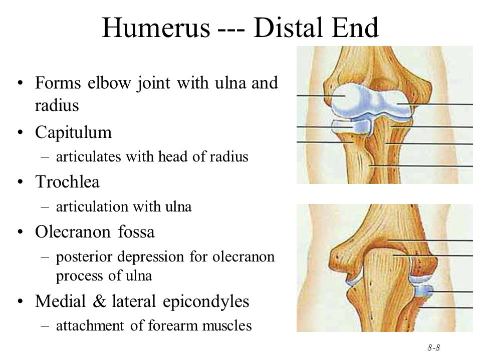8-9 Ulna & Radius --- Proximal End Ulna (on little finger side) –trochlear notch articulates with humerus & radial notch with radius –olecranon process forms point of elbow Radius (on thumb side) –head articulates with capitulum of humerus & radial notch of ulna –tuberosity for muscle attachment