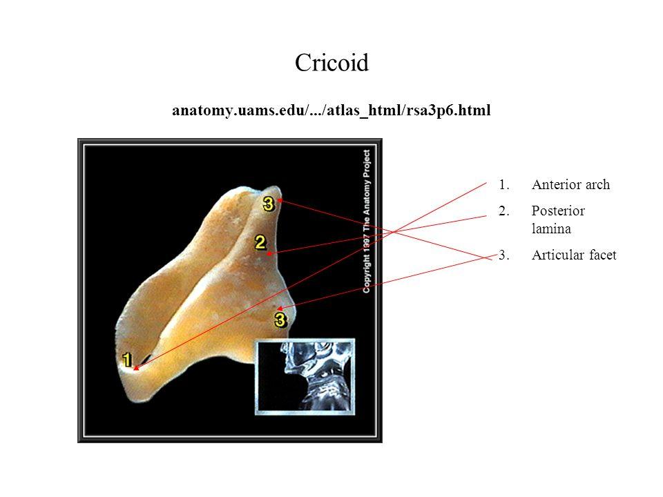 Cricoid anatomy.uams.edu/.../atlas_html/rsa3p6.html 1.Anterior arch 2.Posterior lamina 3.Articular facet
