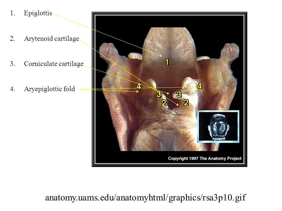 1.Epiglottis 2.Arytenoid cartilage 3.Corniculate cartilage 4.Aryepiglottic fold anatomy.uams.edu/anatomyhtml/graphics/rsa3p10.gif