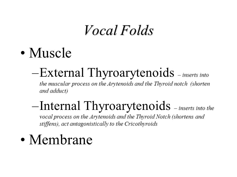 Vocal Folds Muscle inserts into the muscular process on the Arytenoids and the Thyroid notch (shorten and adduct) –External Thyroarytenoids – inserts
