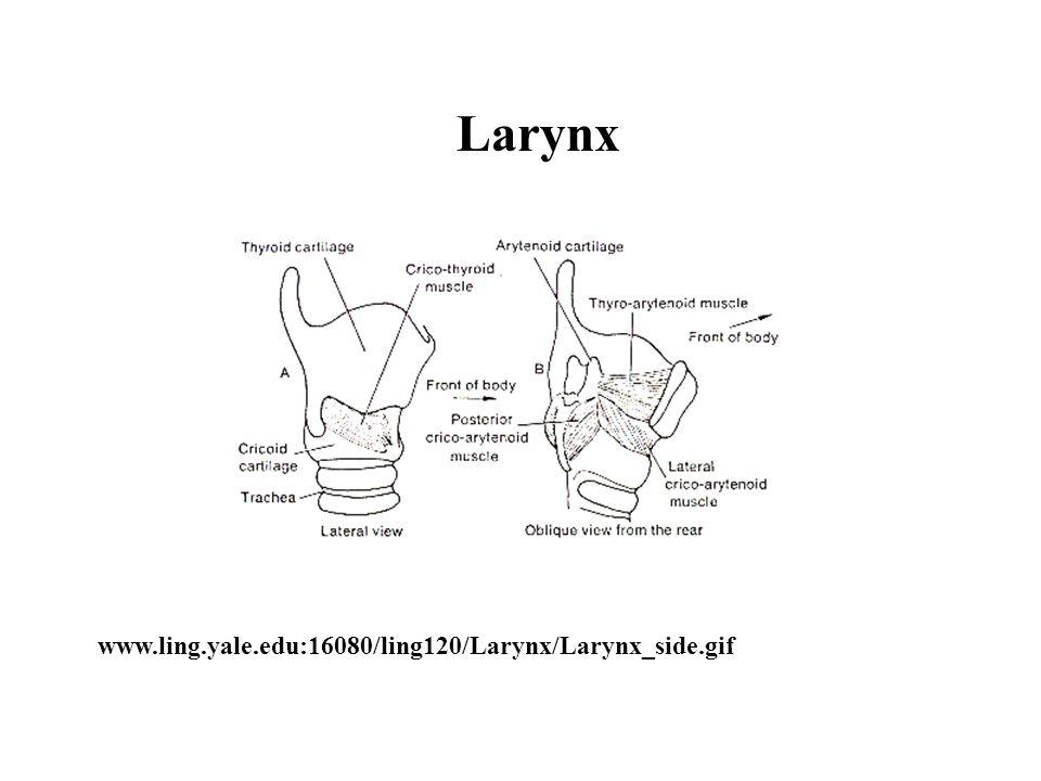 www.ling.yale.edu:16080/ling120/Larynx/Larynx_side.gif Larynx
