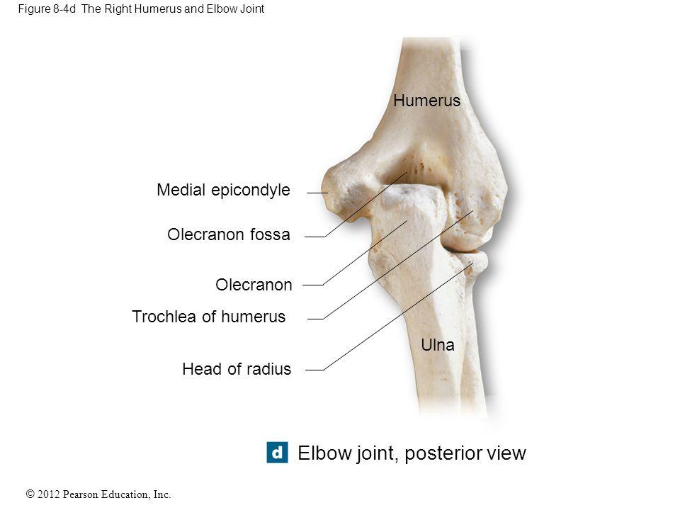 © 2012 Pearson Education, Inc. Figure 8-4d The Right Humerus and Elbow Joint Humerus Medial epicondyle Olecranon fossa Olecranon Trochlea of humerus H