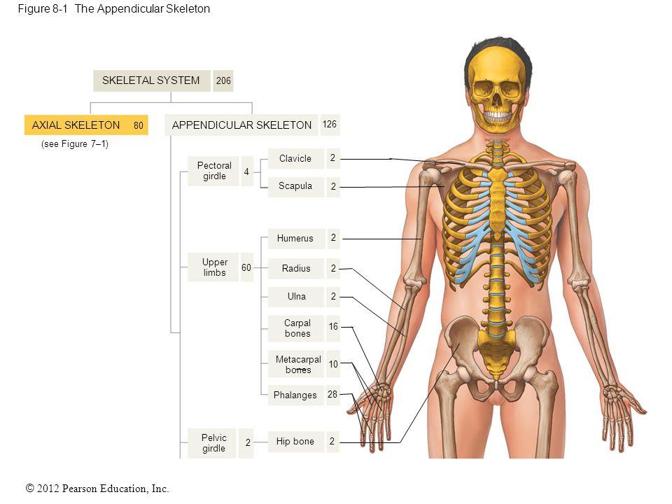 © 2012 Pearson Education, Inc. Figure 8-1 The Appendicular Skeleton Clavicle Pectoral girdle Upper limbs Scapula Humerus Radius Ulna Carpal bones Meta