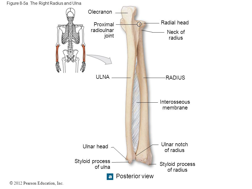 © 2012 Pearson Education, Inc. Figure 8-5a The Right Radius and Ulna Olecranon Proximal radioulnar joint ULNA Ulnar head Styloid process of ulna Poste