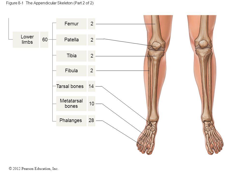 © 2012 Pearson Education, Inc. Figure 8-1 The Appendicular Skeleton (Part 2 of 2) Lower limbs Femur Patella Tibia Fibula Tarsal bones Metatarsal bones