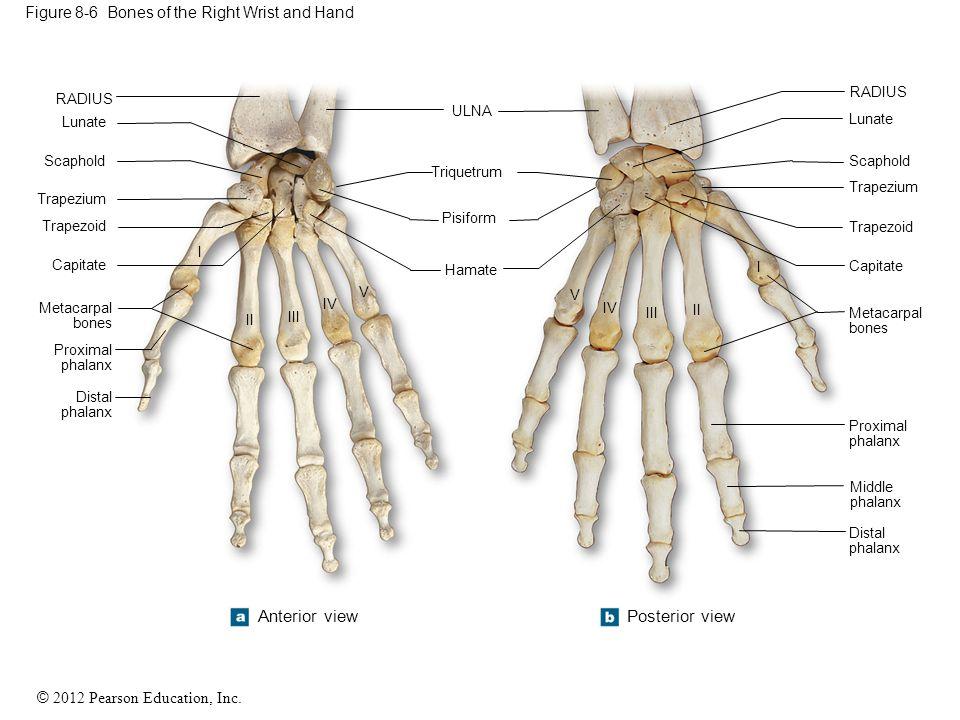 © 2012 Pearson Education, Inc. Figure 8-6 Bones of the Right Wrist and Hand RADIUS V IV III II I Lunate Scaphold Trapezium Trapezoid Capitate Metacarp