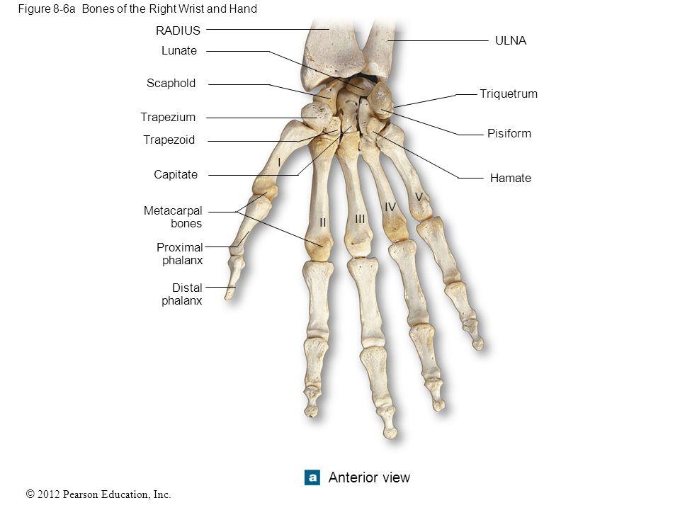 © 2012 Pearson Education, Inc. Figure 8-6a Bones of the Right Wrist and Hand RADIUS V IV III II I Lunate Scaphold Trapezium Trapezoid Capitate Metacar