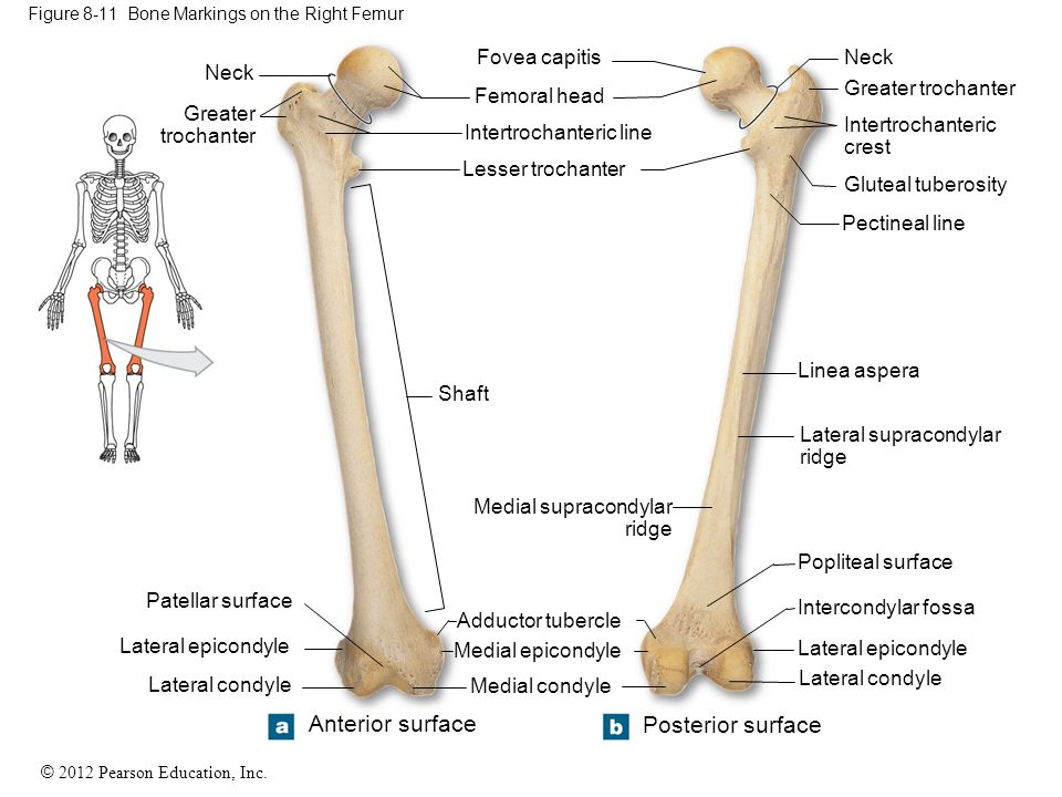 lateral condyle of femur, Human body