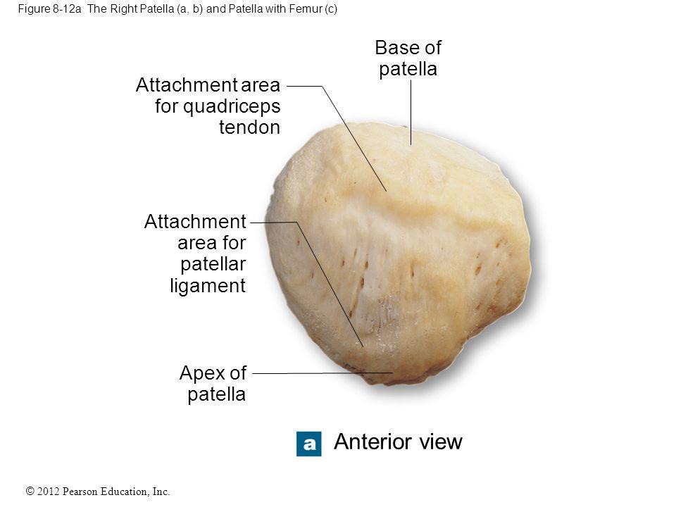 © 2012 Pearson Education, Inc. Figure 8-12a The Right Patella (a, b) and Patella with Femur (c) Base of patella Apex of patella Attachment area for pa