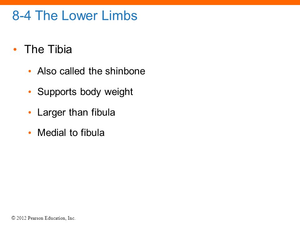 © 2012 Pearson Education, Inc. 8-4 The Lower Limbs The Tibia Also called the shinbone Supports body weight Larger than fibula Medial to fibula