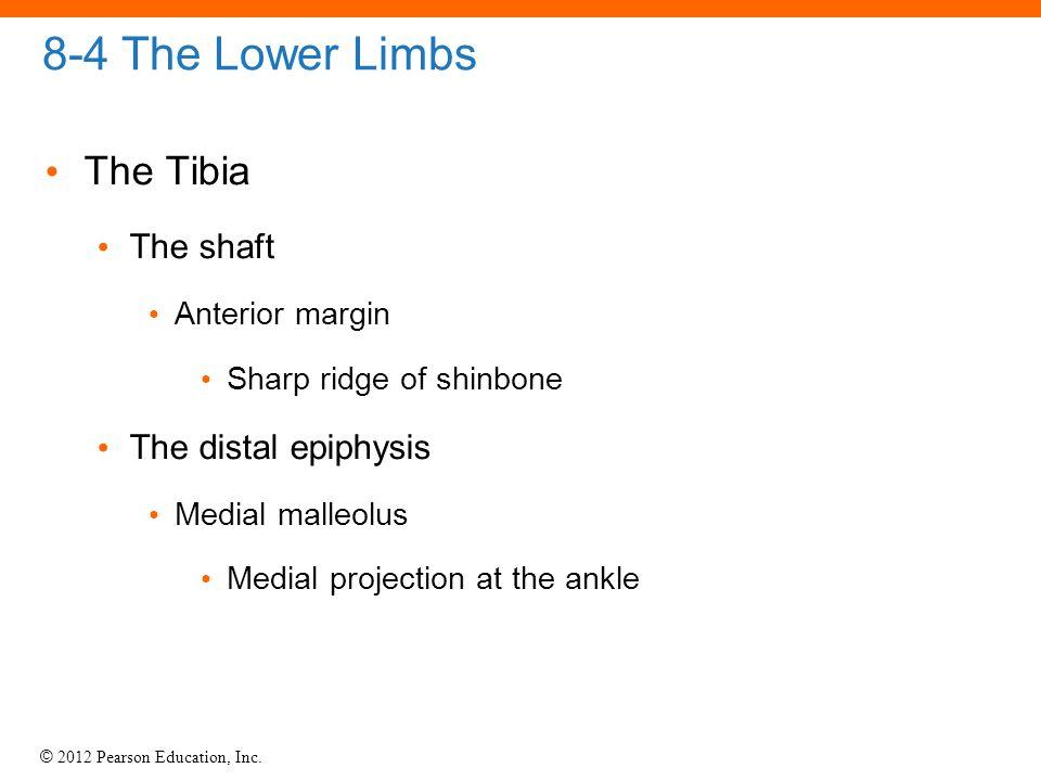 © 2012 Pearson Education, Inc. 8-4 The Lower Limbs The Tibia The shaft Anterior margin Sharp ridge of shinbone The distal epiphysis Medial malleolus M