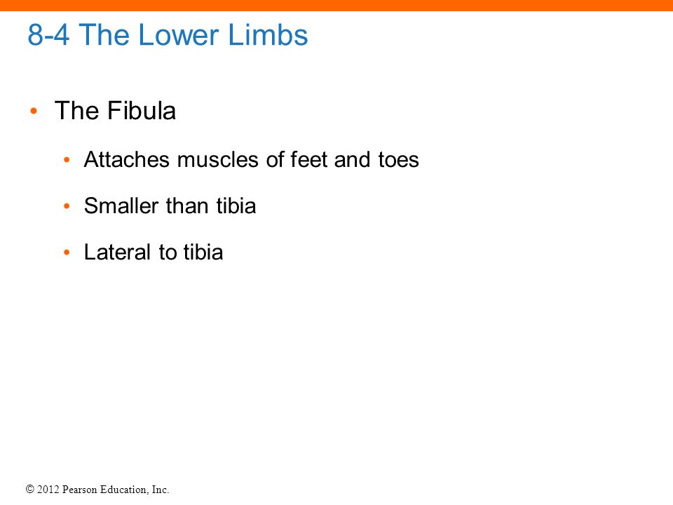 © 2012 Pearson Education, Inc. 8-4 The Lower Limbs The Fibula Attaches muscles of feet and toes Smaller than tibia Lateral to tibia