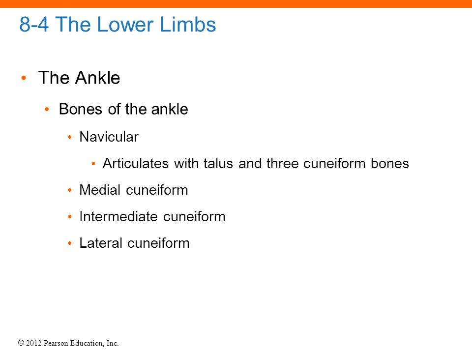 © 2012 Pearson Education, Inc. 8-4 The Lower Limbs The Ankle Bones of the ankle Navicular Articulates with talus and three cuneiform bones Medial cune